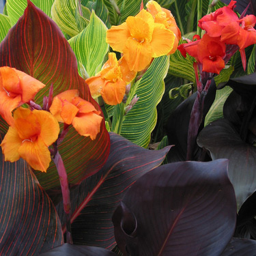 Tropicanna® Cannas are a stand-out!