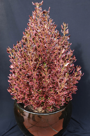 coprosma pacific sunrise