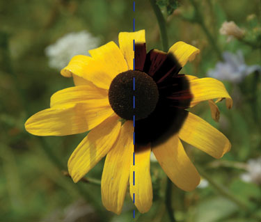 Rudbeckia hirta & what a human sees (left) & what a bee sees (right)