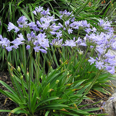 Environmentally safe Agapanthus
