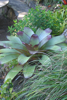 Big bromeliad, Alcantara      imperialis with native grass,    Anemanthele lessoniana