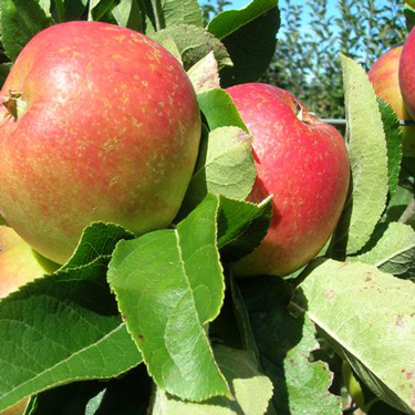 Seven ways to grow apples in a small garden
