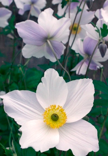 anenome windflower