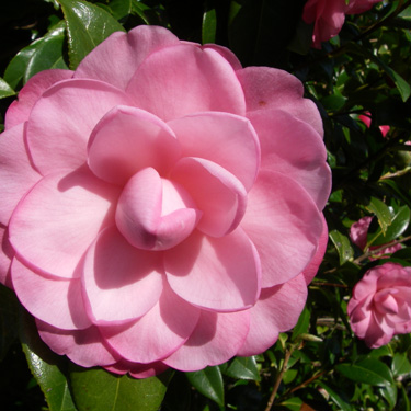 Multi-talented camellias