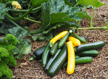 zucchinis courgettes