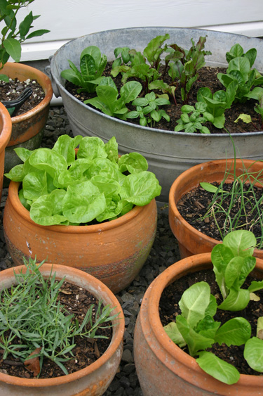 lettuces herbs containers