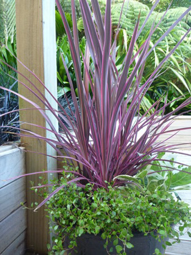 Electric cordyline