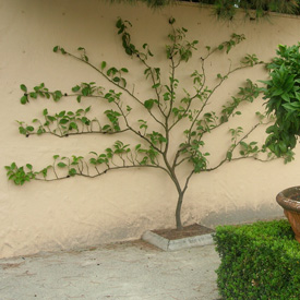 Grow espaliered fruit trees