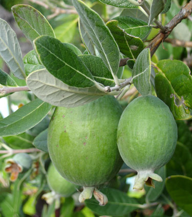 fruit feijoas