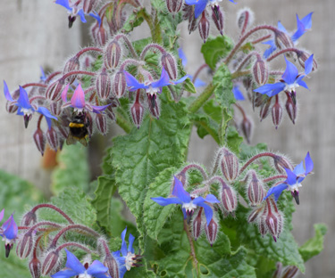 herbs borage