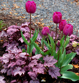 Tulips with Heuchera 'Sugar Plum'