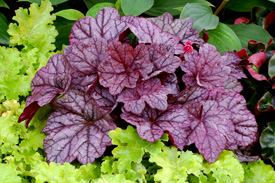 Purple and lime green Heuchera varieties