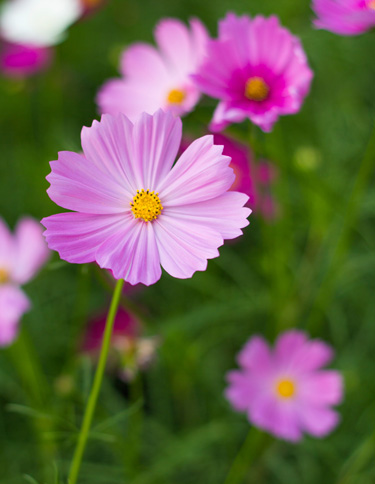 cosmos windflower