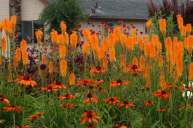 Hot pokers (Kniphofia)    and Echinacea