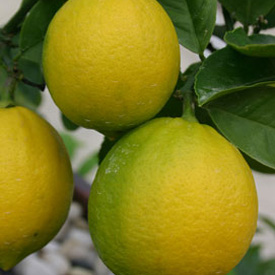 The essential lemon tree