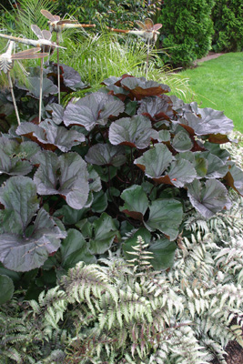 Ligularia �Britt-Marie  Crawford� and      deciduous fern,    Athyrium 'Silver Falls'