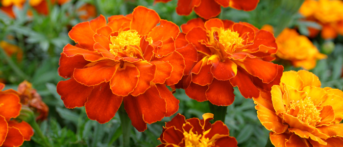 marigold post