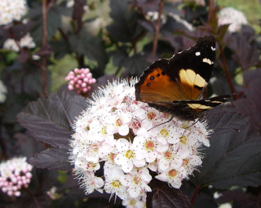 butterfly yellow admiral