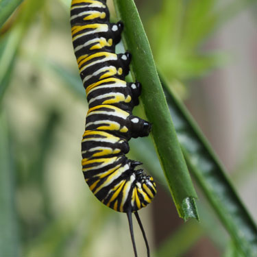 Kids Go Gardening - grow swan plants for Monarchs
