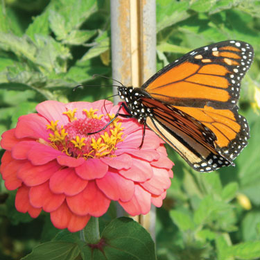 Monarch butterfly on Zinnia by Diane Turner