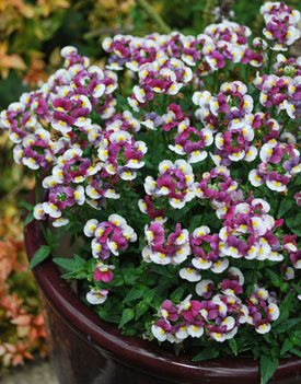 Nemesia Raspberry 'n Cream