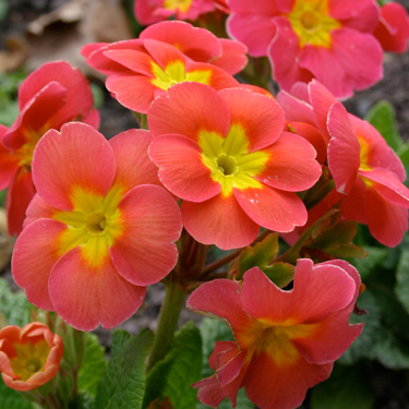 Flowering annuals for Autumn and Winter