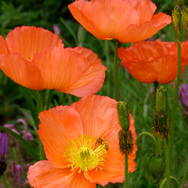 Grow poppies