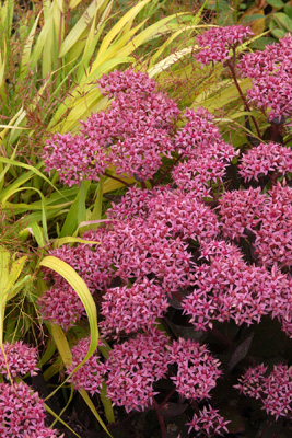 Sedum flowers and    grass, Hakonechloa    aureola