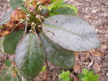 thrips damage